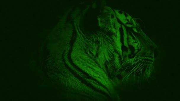 Night Vision tigris morgó