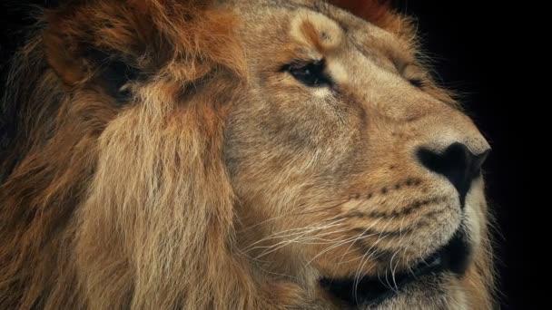Lion čelit Closeup s tmavým pozadím
