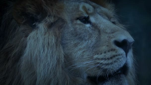 Big Lion In The Evening