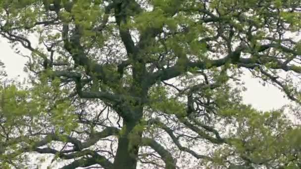 Régi tölgyfa a szélben