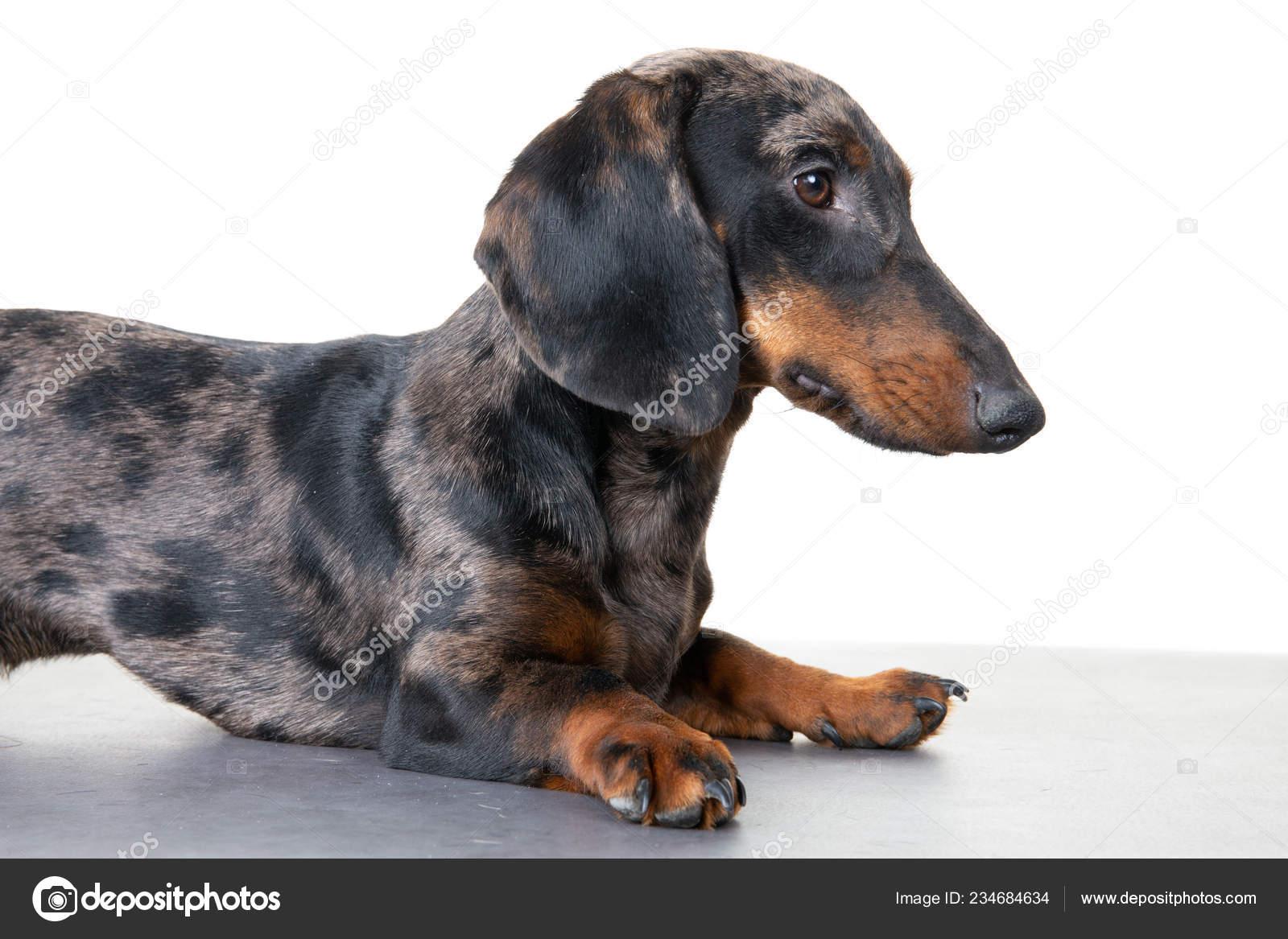 Dog Dachshund Male Breed Black Tan ...