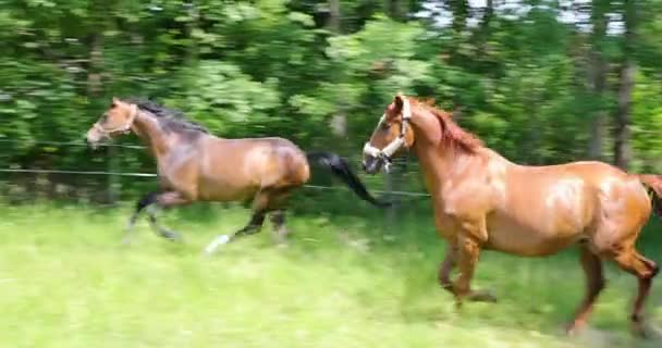 Two horses are galloping on the green pasture