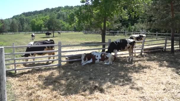 Krávy se pasou na pastvinách v letním dni. Stádo krav na letní pastviny.
