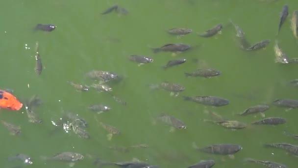 Pohled shora zastřelil Koi ryb, ozdobný kapr plavání v rybníku