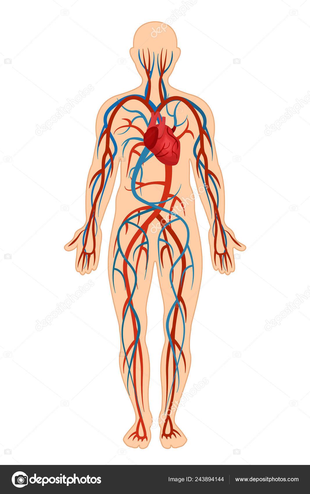 Estrutura Anatômica Do Corpo Humano Sistema Circulatório