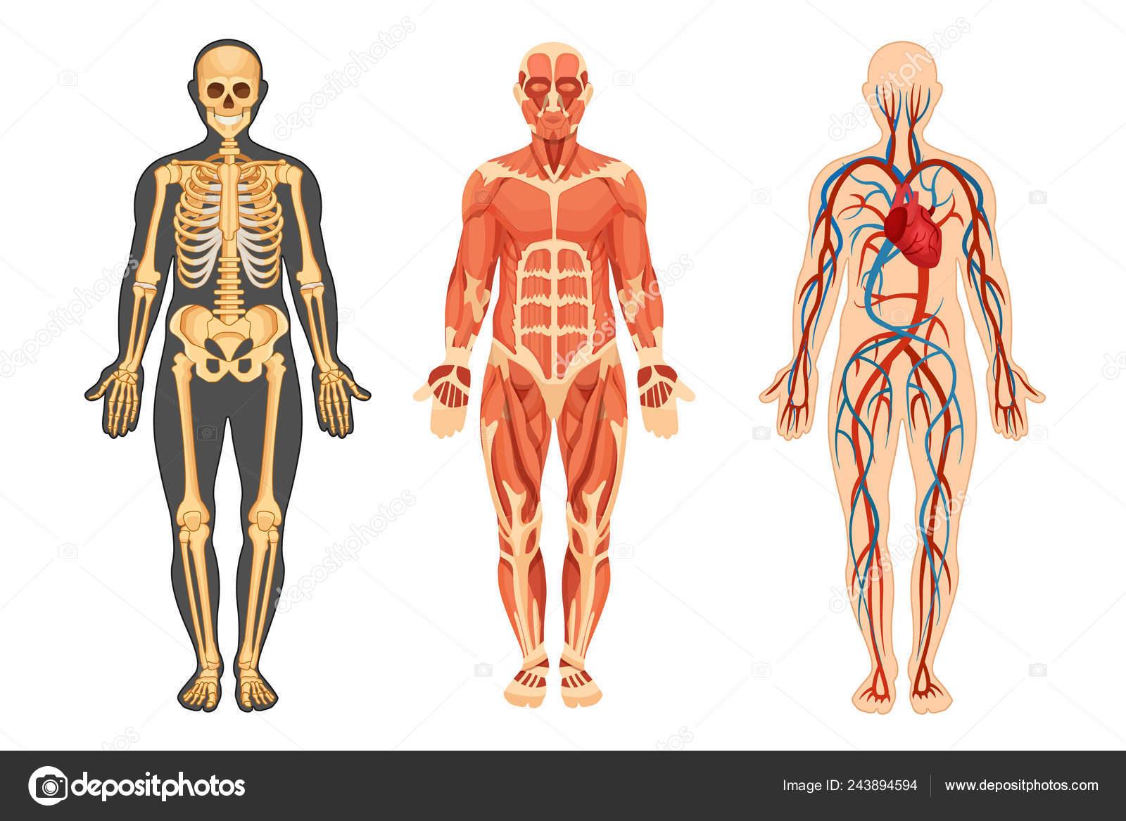 Estructura Del Ser Humano Esqueleto Sistema Muscular