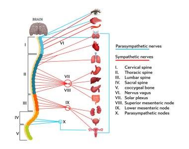 """Картина, постер, плакат, фотообои """"инфографическая схема анатомической структуры нервной системы человека ."""", артикул 268350908"""