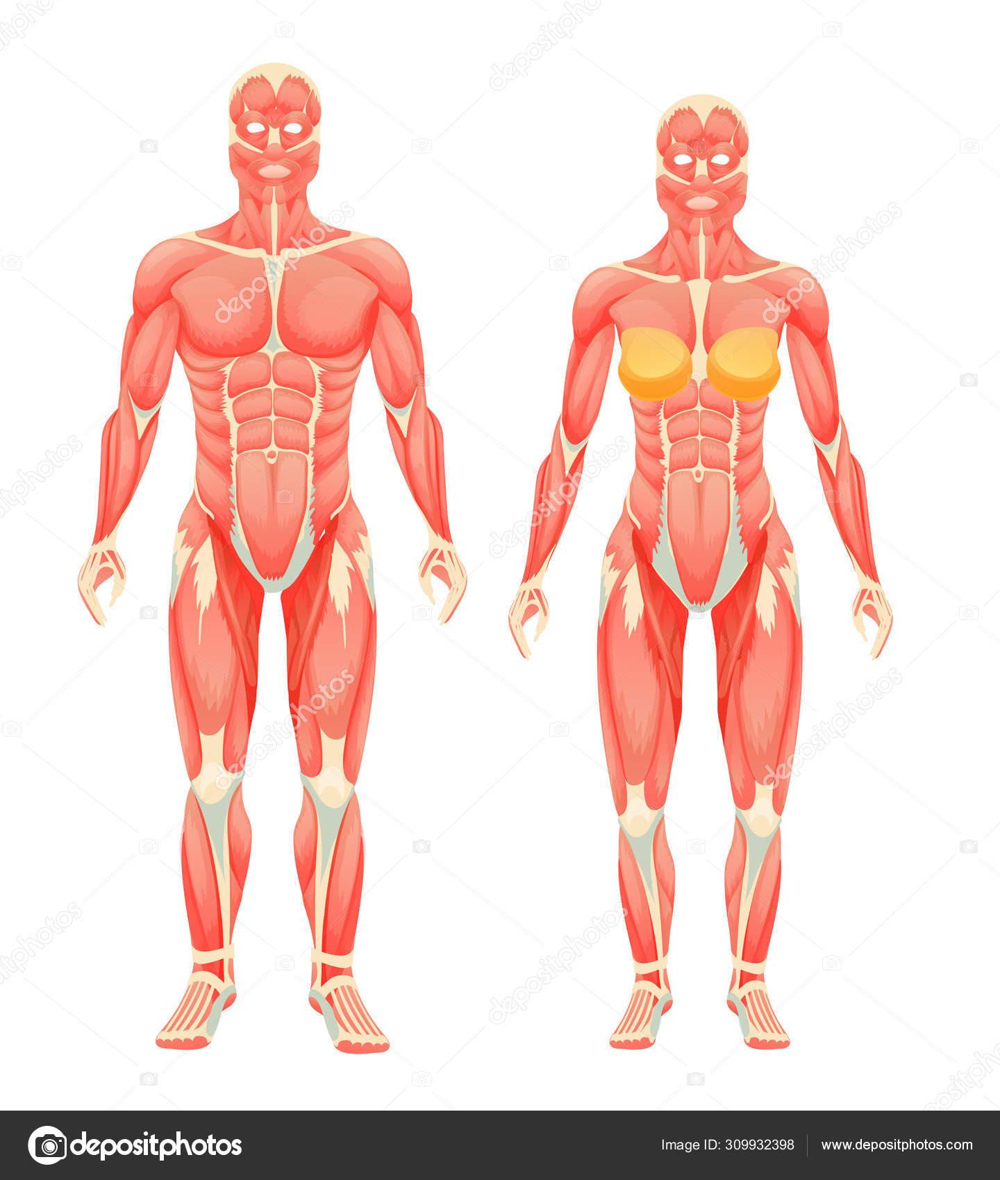 Estrutura Anatômica De Corpos Humanos Femininos E Masculinos