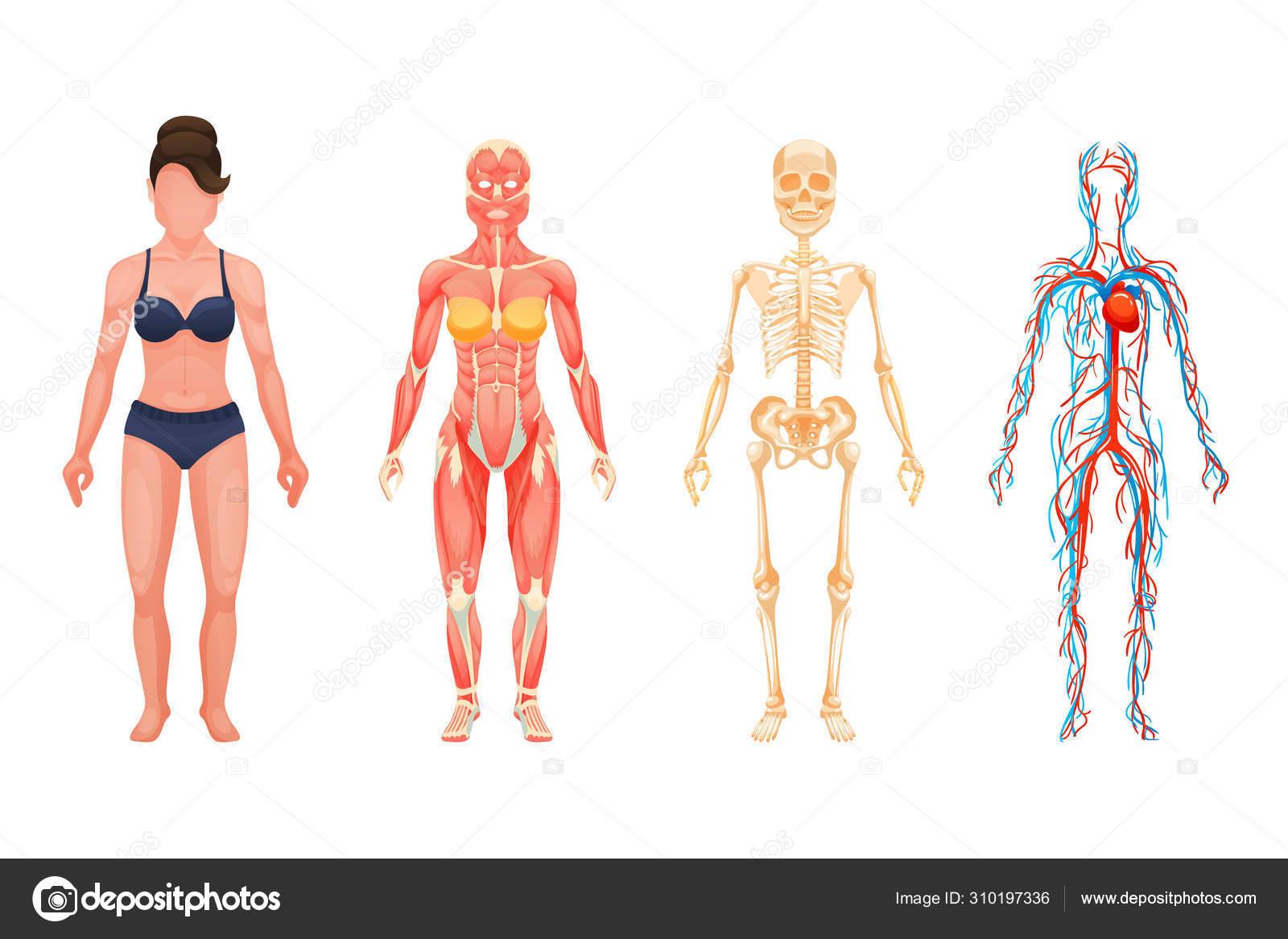 Estructura Anatómica Del Cuerpo De La Persona Cuerpo De La