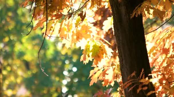 Podzimní dub s oranžové listy.