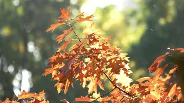 Orange oak leaves in autumn.