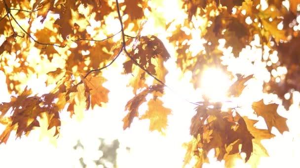 Oak tree leaves in autumn.
