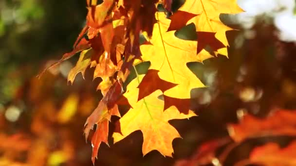 Colourful autumn oak leaves.