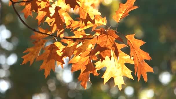 Autunnali foglie di quercia, primi piani