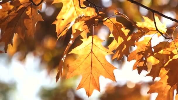 Fogli dorati della quercia, primi piani.