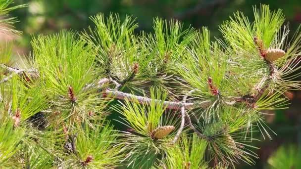 Uzavření borovicové větve.