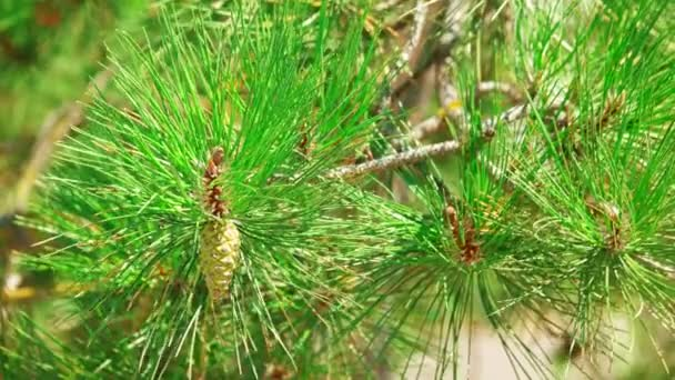 Pine tree branch with cones in green forest.