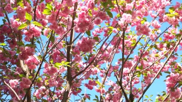 Květy růžové sakura zblízka