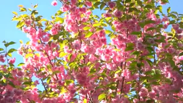 Japan sakura blossom zblízka