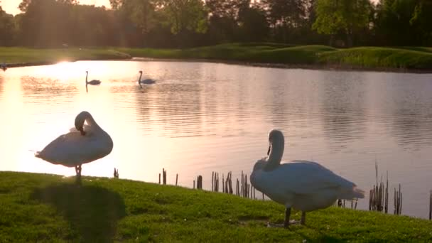 Two swans on green meadow.