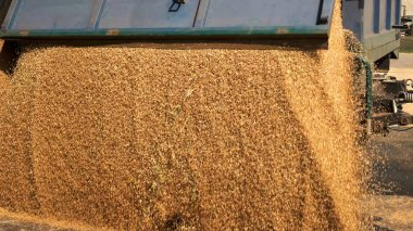 Corn grain pouring in a agricultural silo.