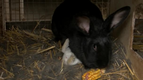 Black rabbit eating a corn.