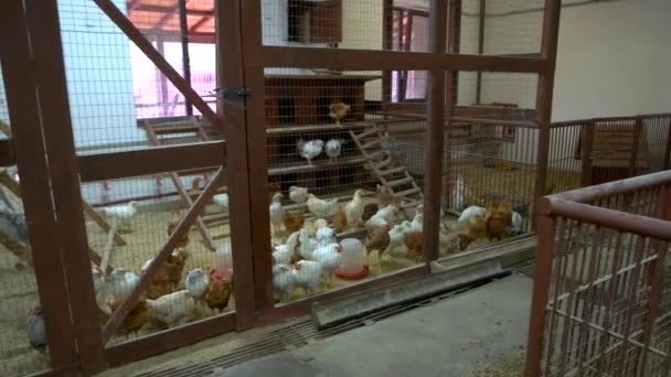 Chickens in henhouse at poultry farm.