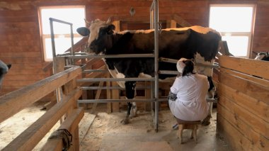 Cow milking process on modern farm.
