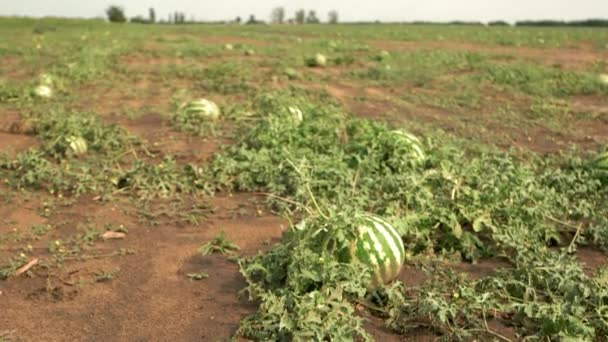 Field with healthy organic watermelons.