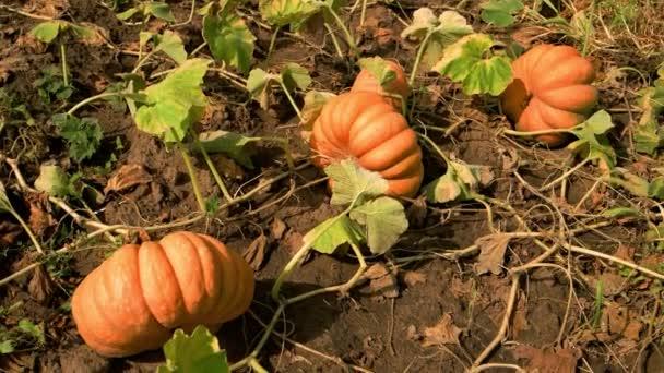 Dýně roste na poli na podzim.
