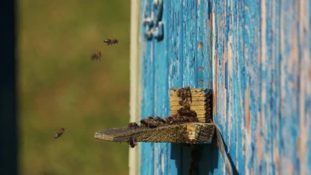 Raj méhek repülnek át a kaptár.