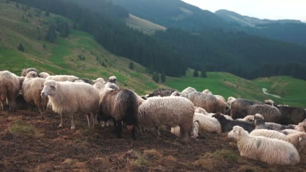 stádo ovcí v Karpatských horách.