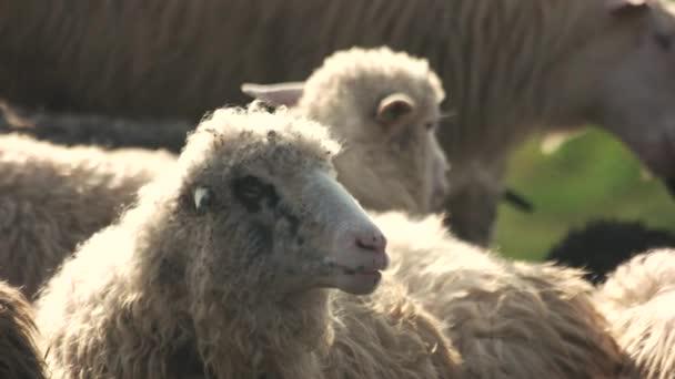 Schafe weiden im Freien.