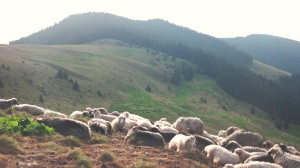 Schafherde auf der Weide in den Bergen.