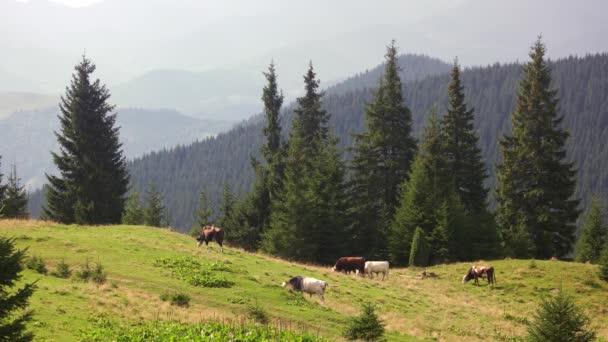 Stádo krav na pastviny.