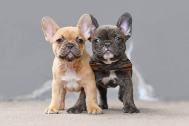Pair of red fawn and chocolate brindle colored French Bulldog dog puppies with 7 weeks standing in front of gray wall