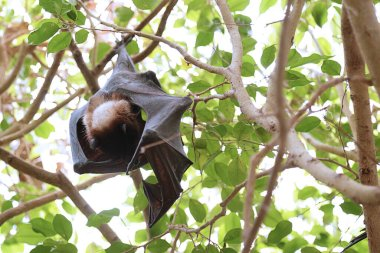 Indian flying fox (Pteropus giganteus) hanging on a tree branch