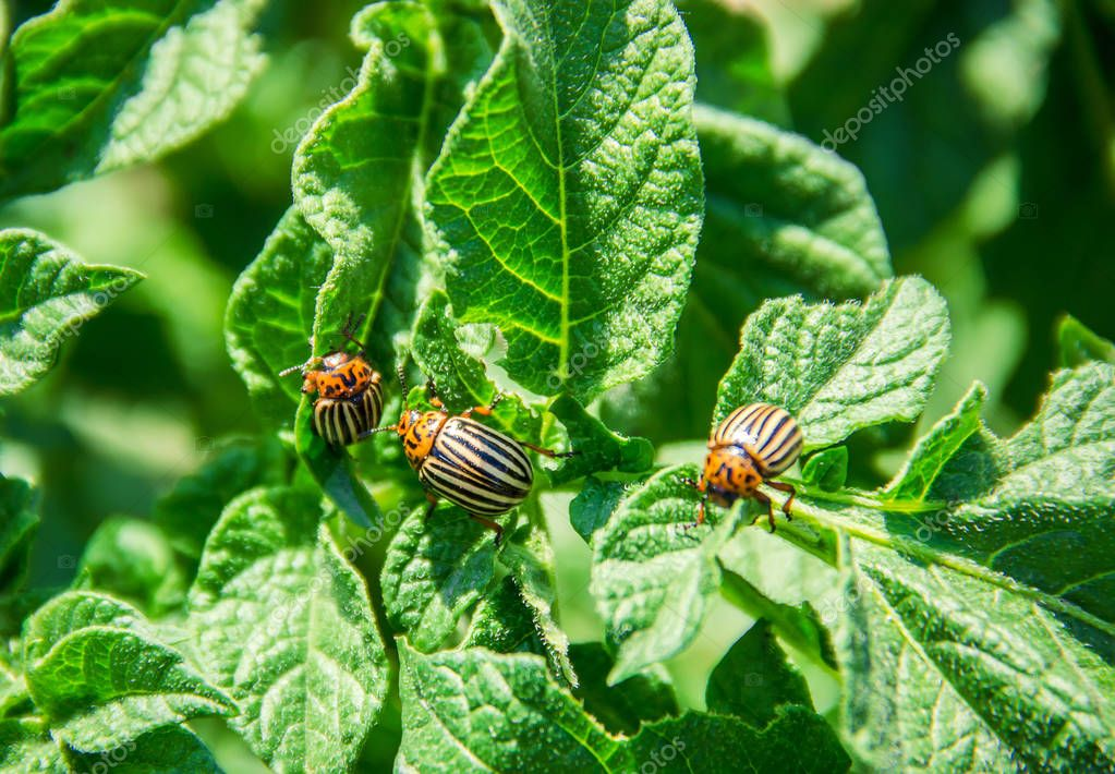 cultivation of potato colorado beetles. selective focus.
