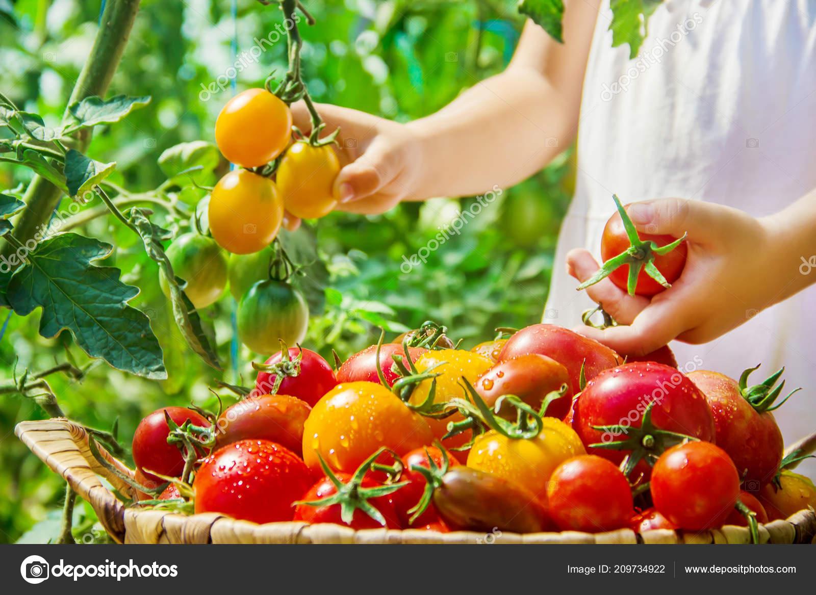 """Картинки по запросу """"корзинка с урожаем томатов"""""""