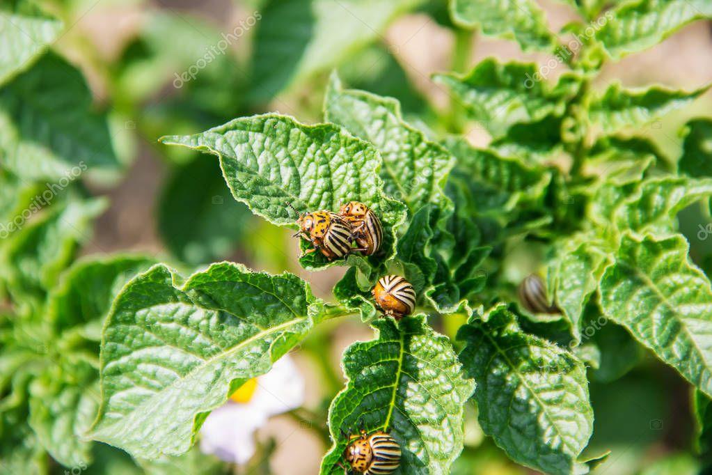 cultivation of potato colorado beetles. selective focus. nature