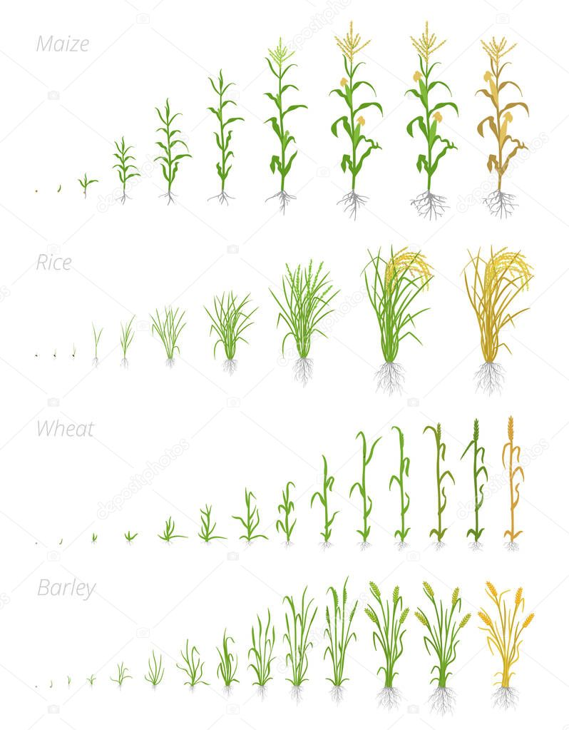 Growth stages of grain cereal agricultural crops. Cereal increase phases. Vector illustration. Secale cereale. Ripening period. Grain life cycle.