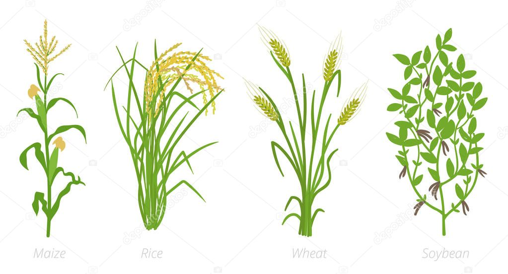 Agricultural crops. Rye, rice maize wheat and Soybean plant. Vector illustration. Secale cereale. Agriculture cultivated plant. Green leaves. Flat color Illustration clipart on white background.