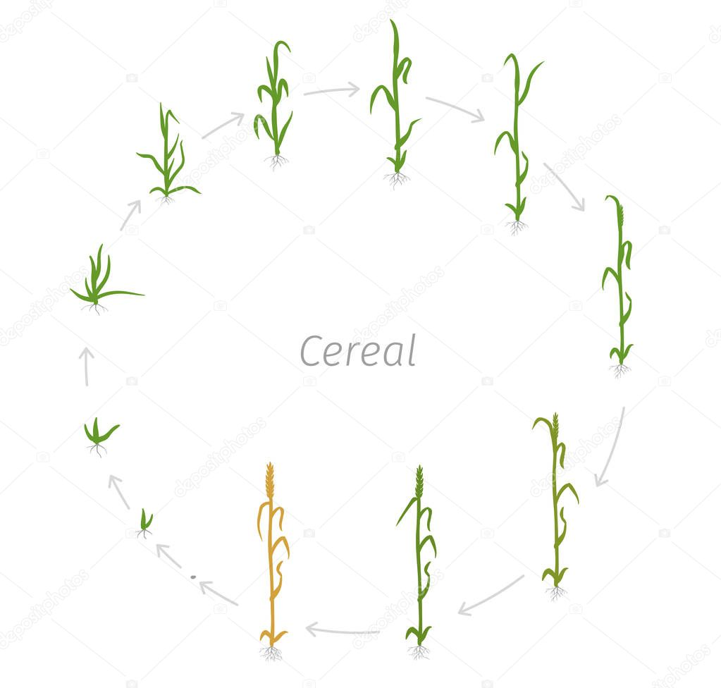 Circular life cycle of Cereal grain agricultural crops. Rye or wheat plant. Vector illustration. Secale cereale. Round Agriculture cultivated plant. Flat color Illustration clipart.