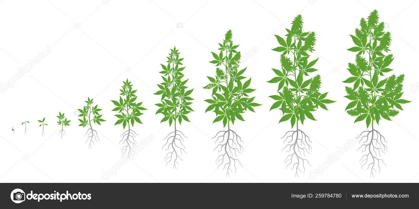 Марихуана стадии роста мужские женские растения марихуаны