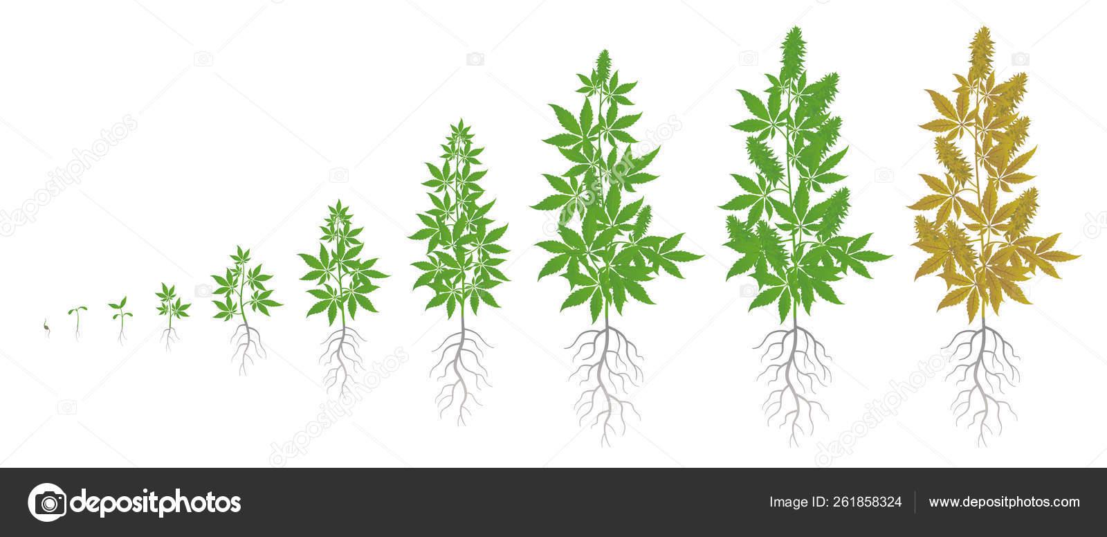 Цикл конопли как определять марихуану по качеству