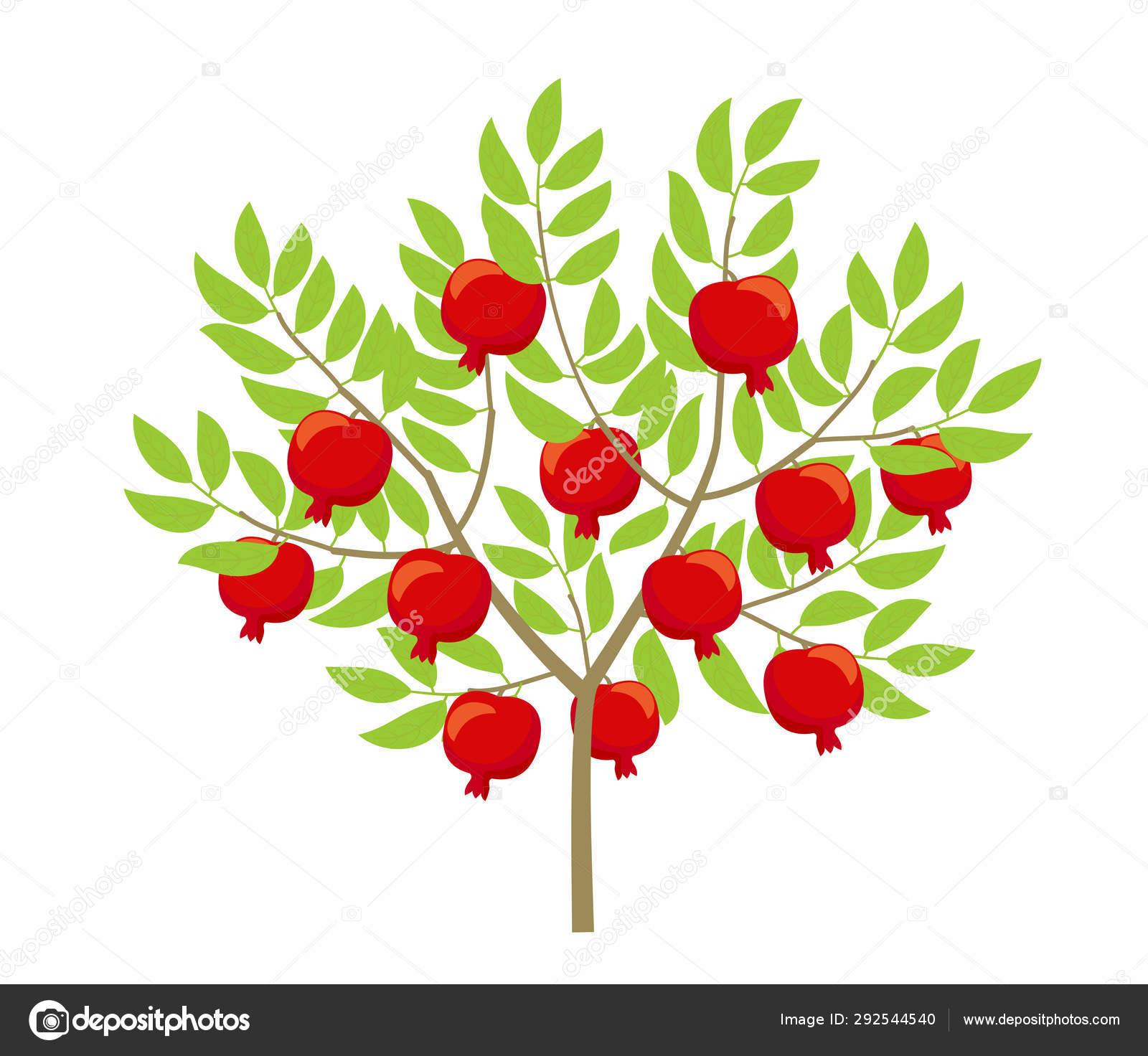 Pomegranate Tree Punica Granatum Granate Bush Plant Vector Color Illustration Vector Image By C Ilyakalinin Vector Stock 292544540