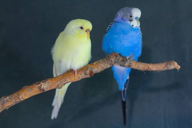 Couple of domestic wavy parrots sit on a branch. Birds