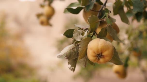 Sárga érett birs a fa. Ökológiai gyümölcs ültetvény kert. 4k.