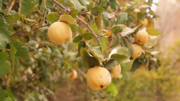Žlutá zralé kdoule na stromě. Bio ovoce plantáž zahrada. 4k.