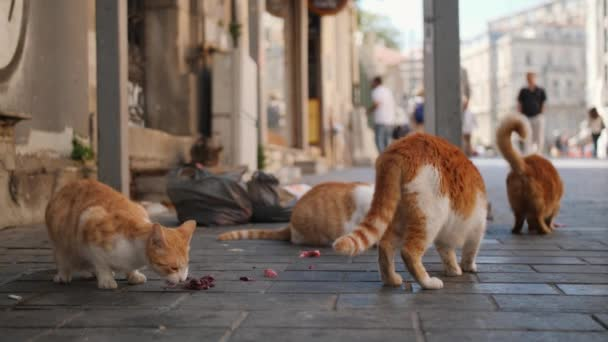 Stray cats eating meat at Istanbul Street  Turkey  4K